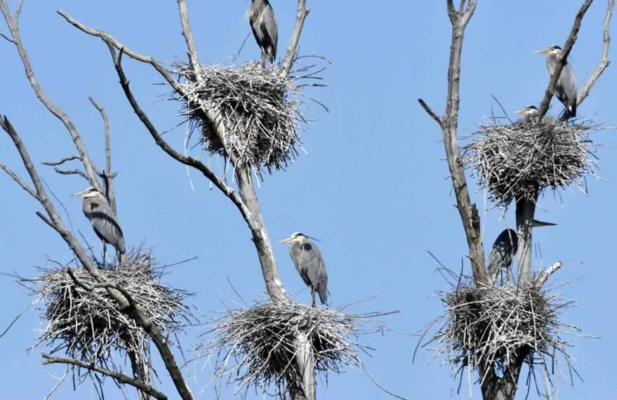 What-is-Governance- Heronry photo of nests